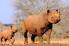 http://curare.berliat.fr/read/2366/Biotech-Firm-3D-Prints-Fake-Rhino-Horn-That-s-Genetically-Identical-To-The-Real-Thing-IFLScience